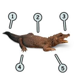 Как научиться рисовать крокодила